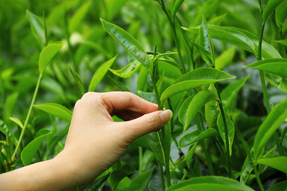 teapick