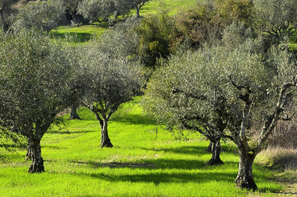 olive trees 26921569