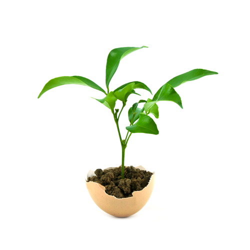 plant in eggshell 85809274