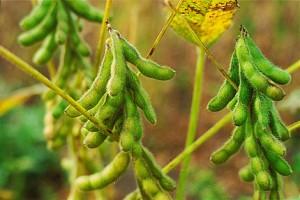 soyplant