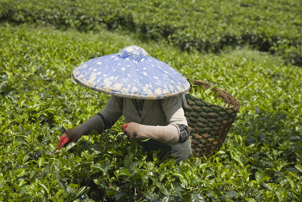 tea picking60089947