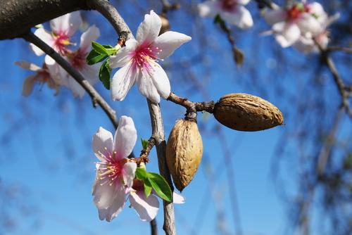 almonds 50755567