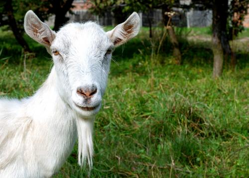 goat 23034976
