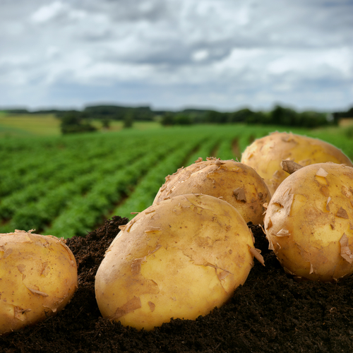 potatoes 110824895