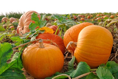 pumpkin 56573374