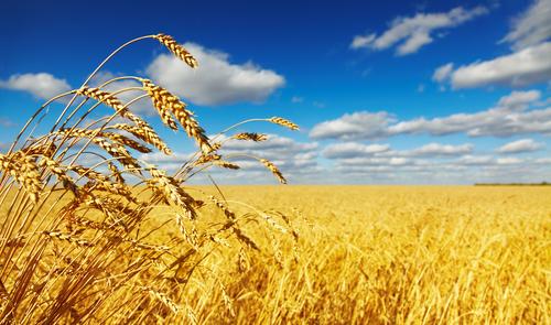 wheat 86296501