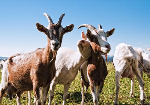 goats 65370073